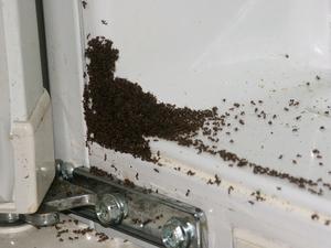 Как избавиться от надоедливых домашних рыжих муравьев с помощью борной кислоты